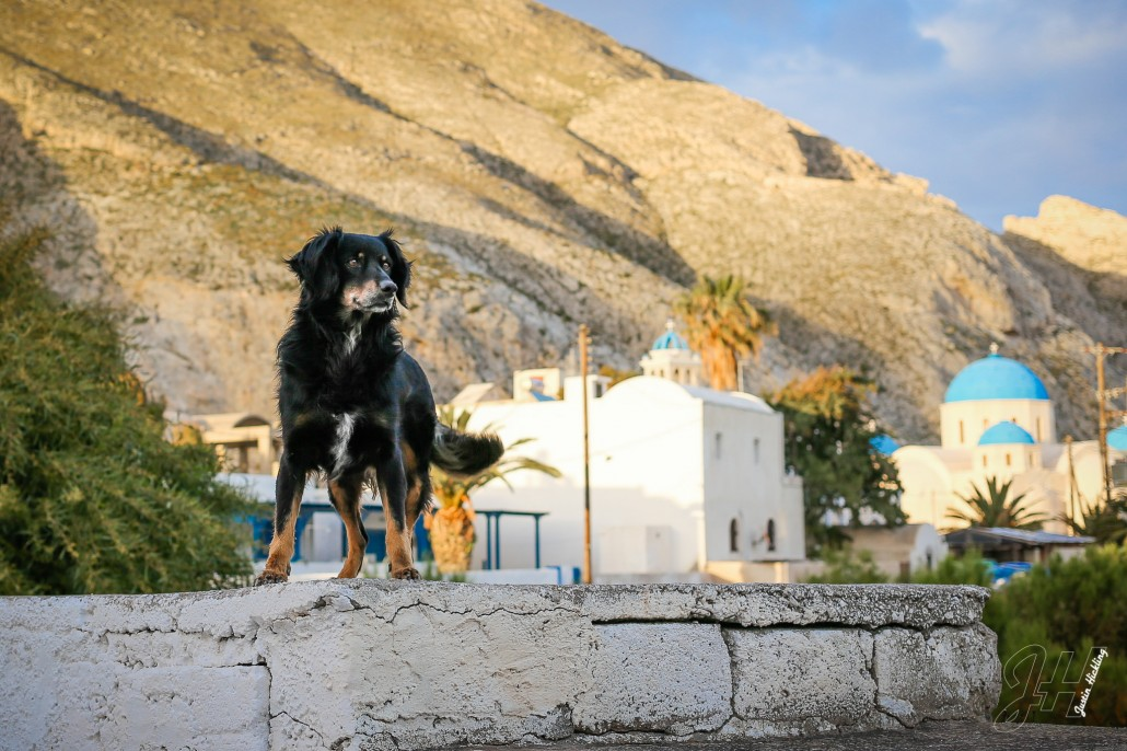 Dogs of Santorini